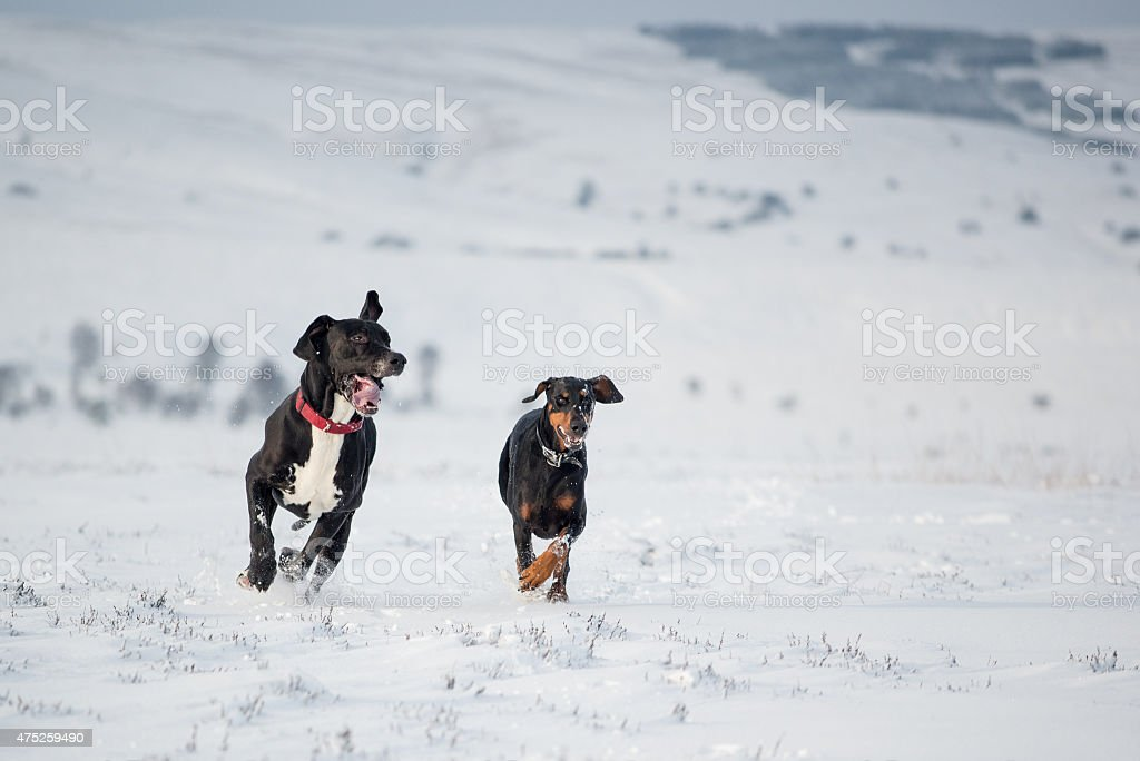 Dogs running together in the snow off leash stock photo