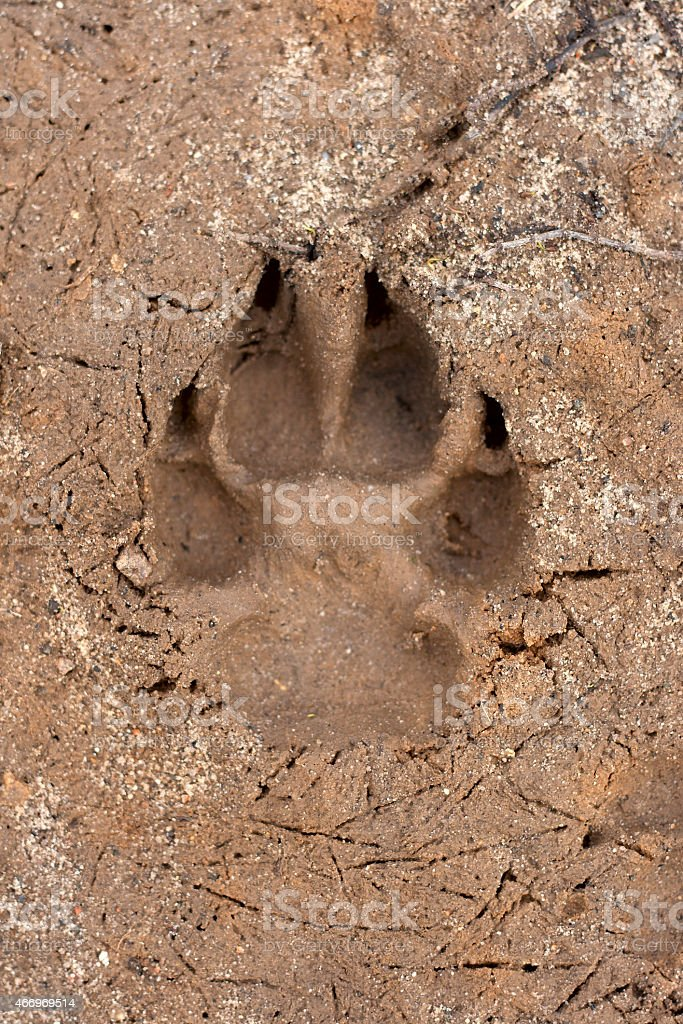Dogs single paw print on the sand stock photo