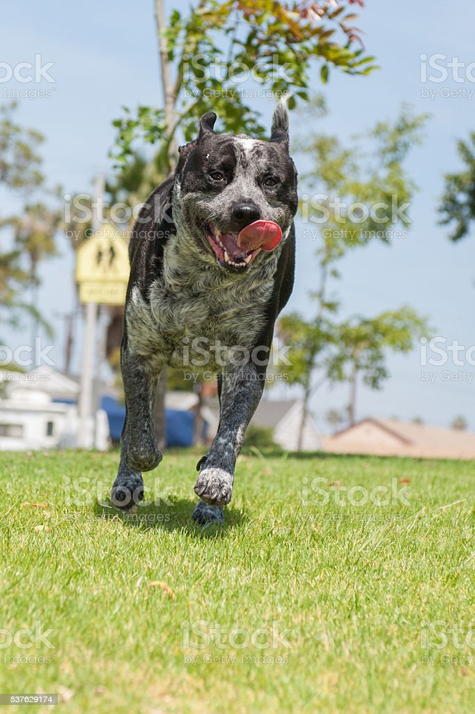 Dog's tongue flapping around stock photo