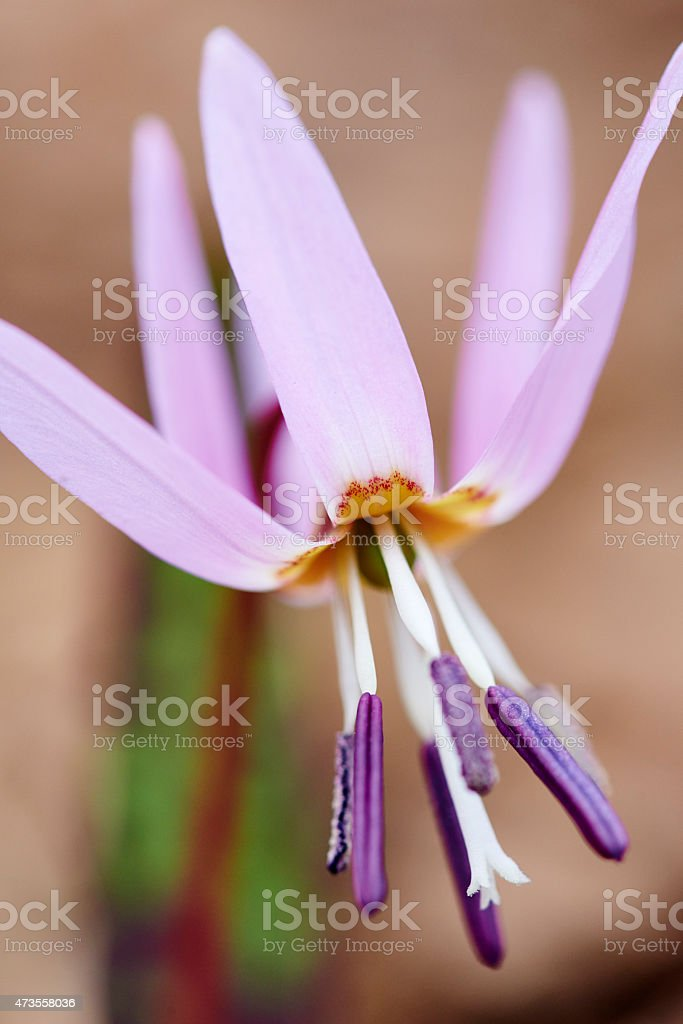 Dog's Tooth Violet stock photo