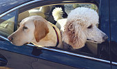 Dogs Travelling in the Car