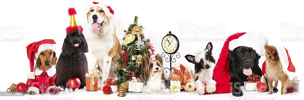 dogs wearing a Santa hat royalty-free stock photo