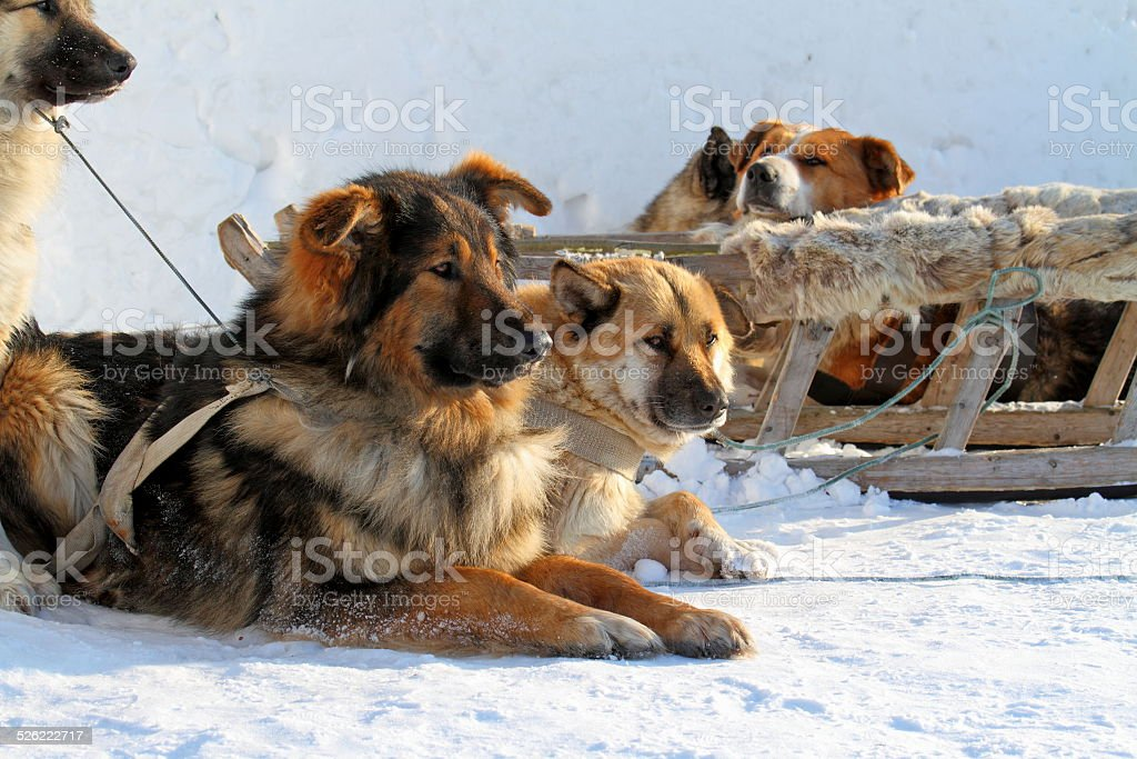 Dogsled stock photo