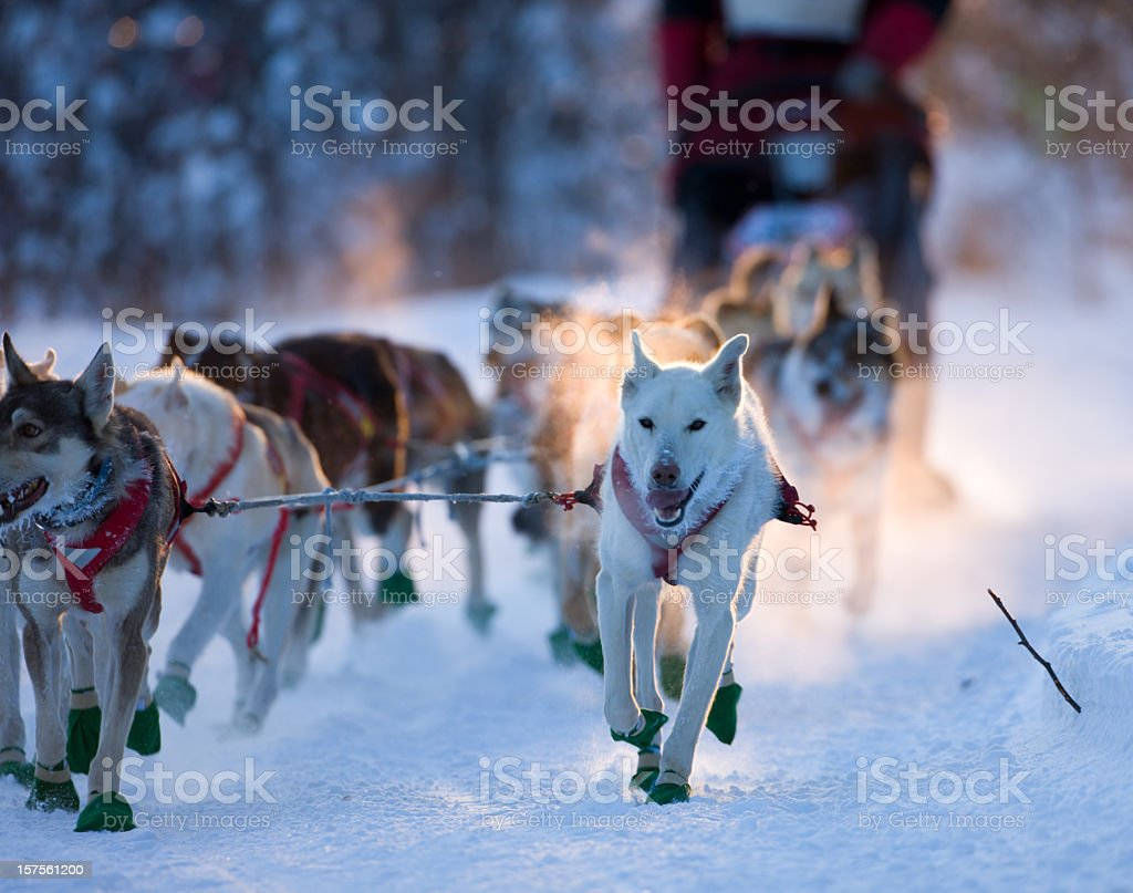 Dogsled team nearing checkpoint. stock photo