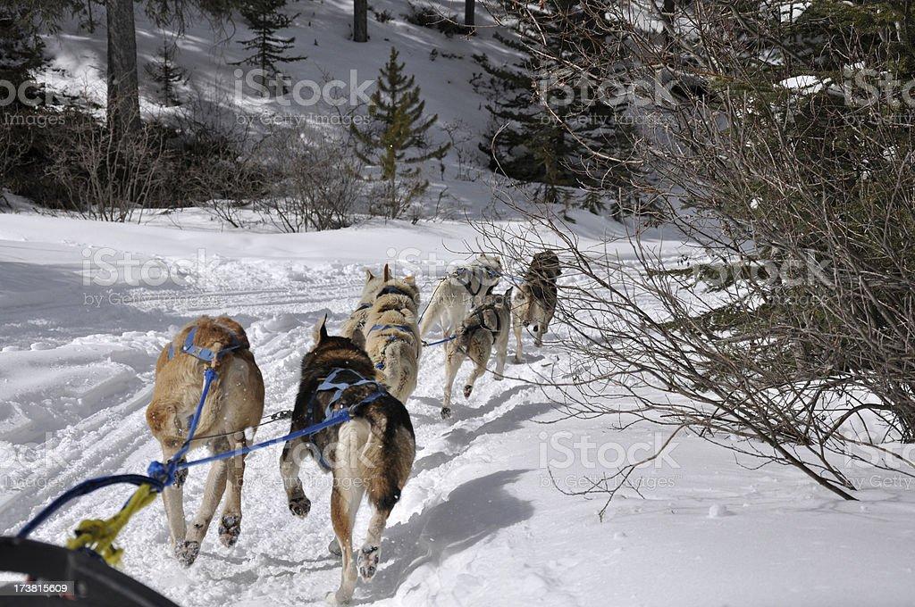 dogsledding team royalty-free stock photo