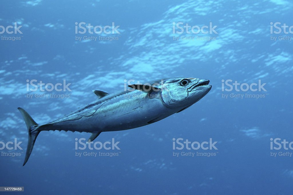 Dog-tooth tuna in water of Indian ocean, Maldives stock photo
