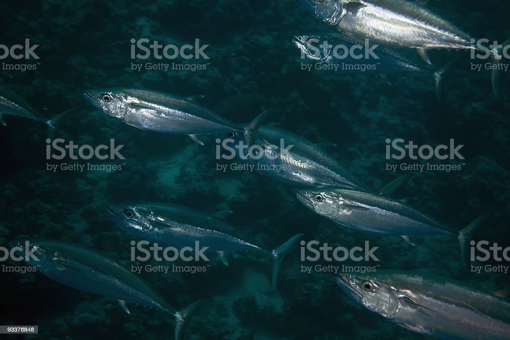 dogtooth tuna (gymnosarda unicolor) royalty-free stock photo