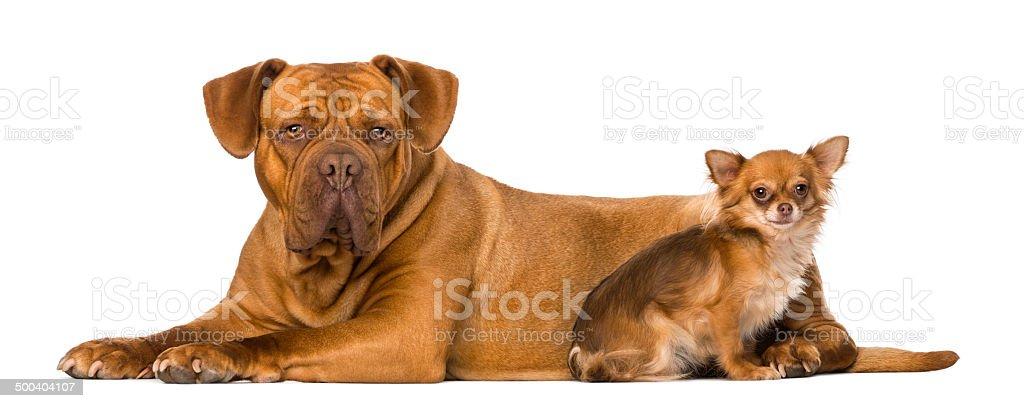 Dogue de Bordeaux and a chihuahua stock photo