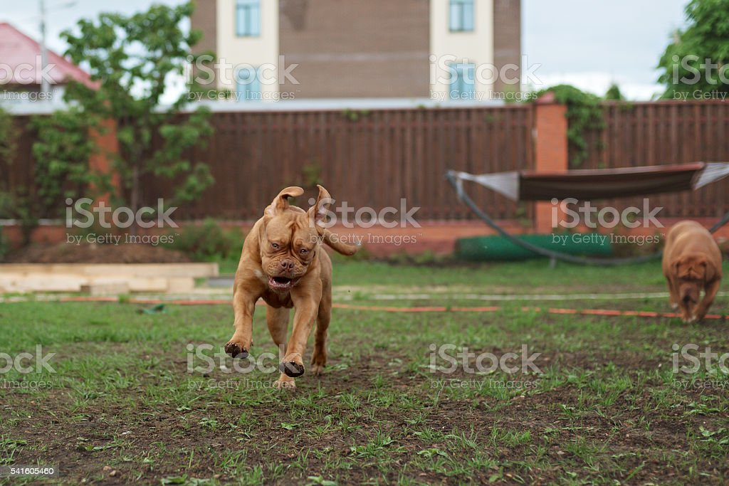 Dogue de Bordeaux dog runs on the grass stock photo