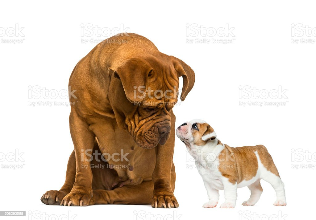Dogue de bordeaux looking at a French Bulldog puppy stock photo