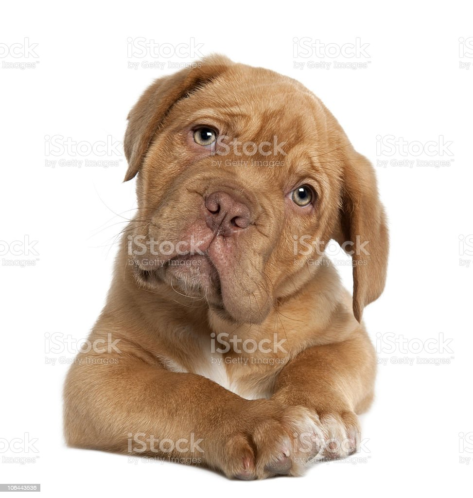 Dogue de Bordeaux puppy, 10 weeks old, lying down. royalty-free stock photo