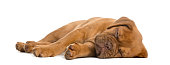 Dogue de Bordeaux puppy lying and sleeping