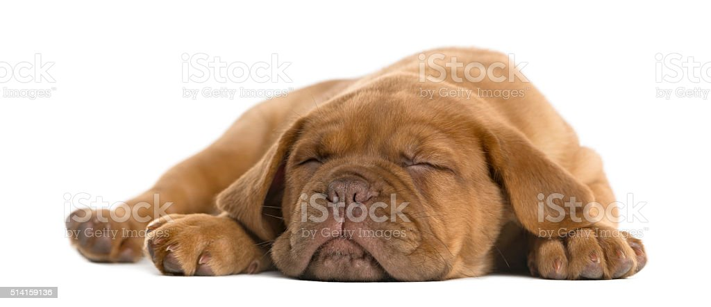 Dogue de Bordeaux puppy lying and sleeping stock photo