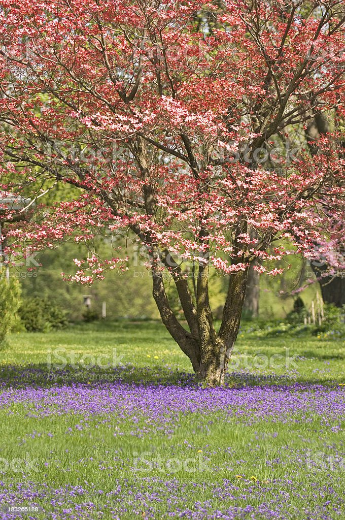 Dogwood and Wild Violets royalty-free stock photo