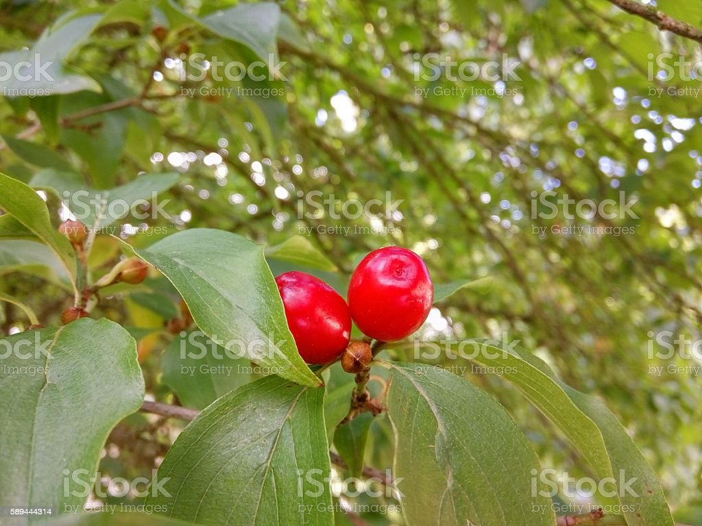 Dogwood berry growing on tree stock photo