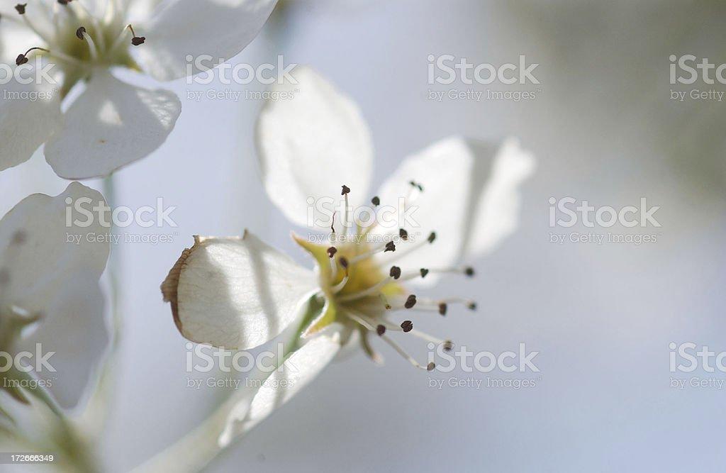 Dogwood blossom royalty-free stock photo