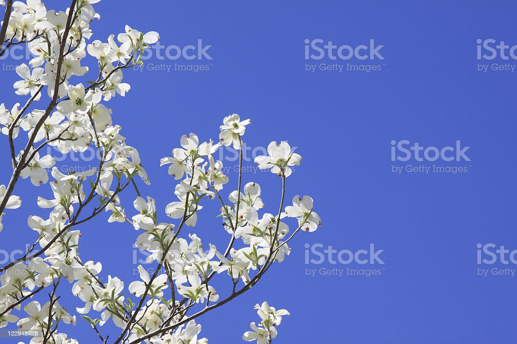 Dogwood Blossoms Against Blue Sky With Copy Space royalty-free stock photo