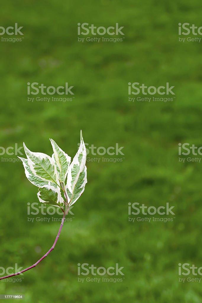 ミズキ(Cornus アルバ)の枝、緑色の背景 ロイヤリティフリーストックフォト