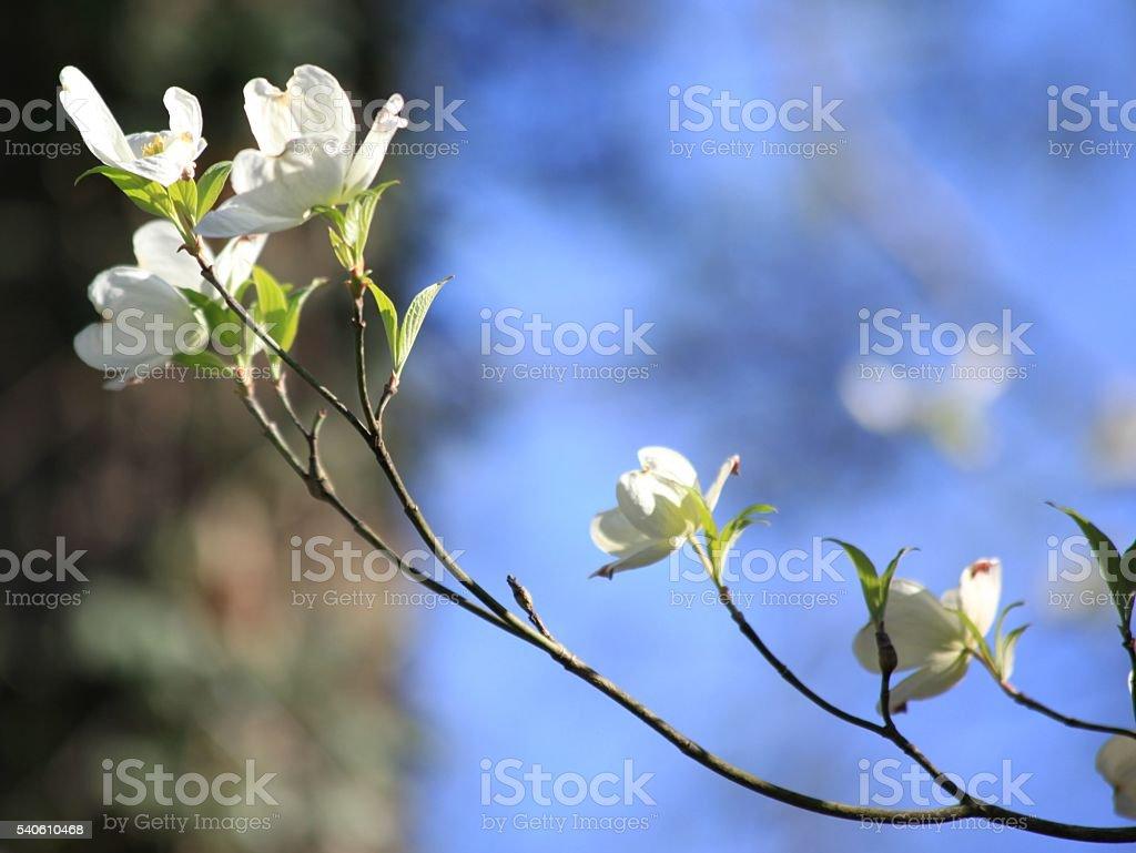 Dogwood Branch stock photo