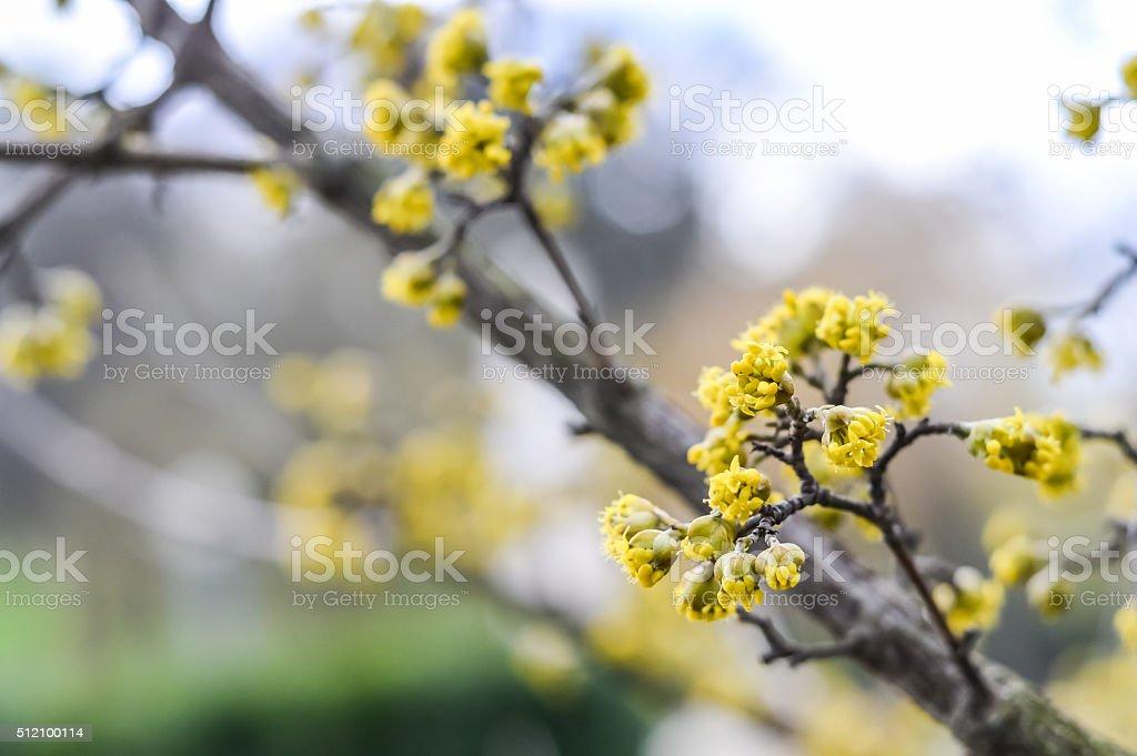 Dogwood Cornus Cornelian branch stock photo