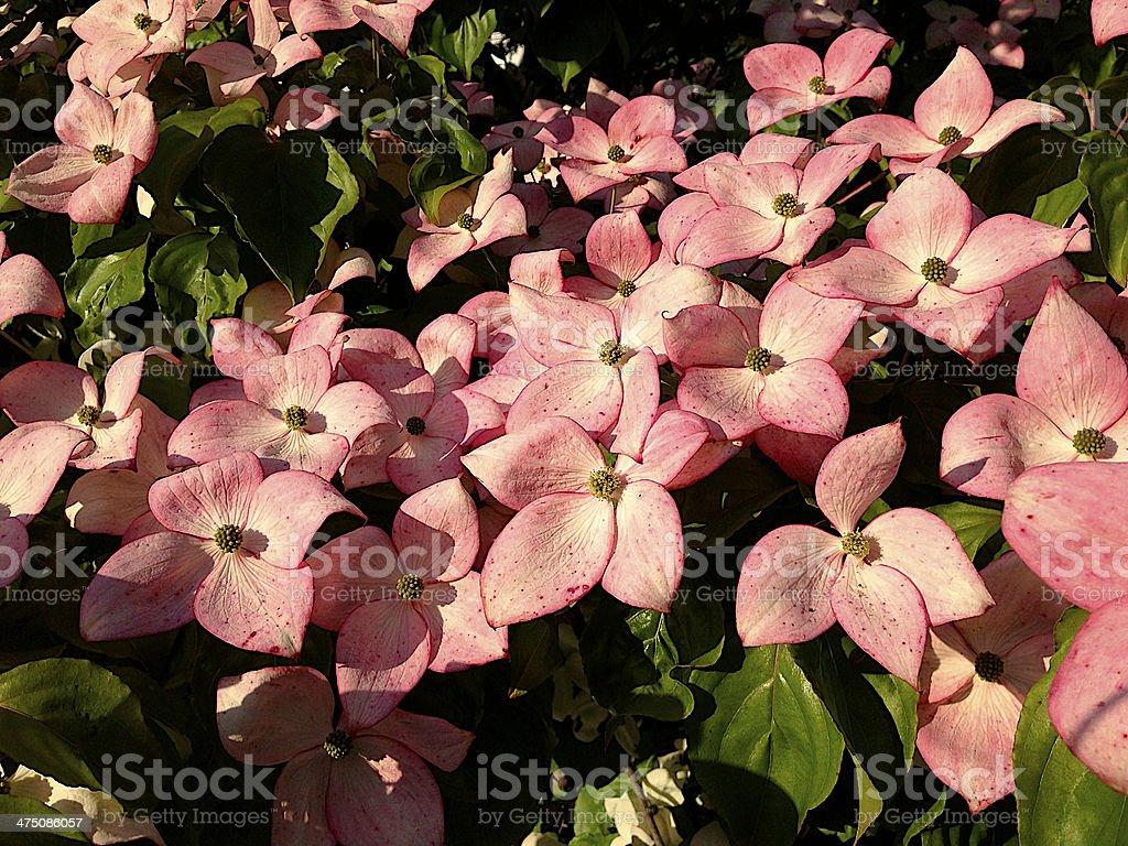 Dogwood - Flowering royalty-free stock photo
