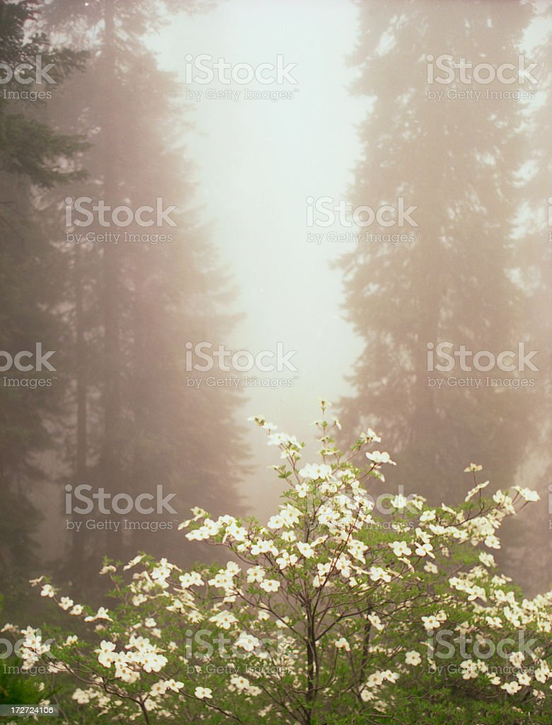 Dogwood Flowers in Mist royalty-free stock photo