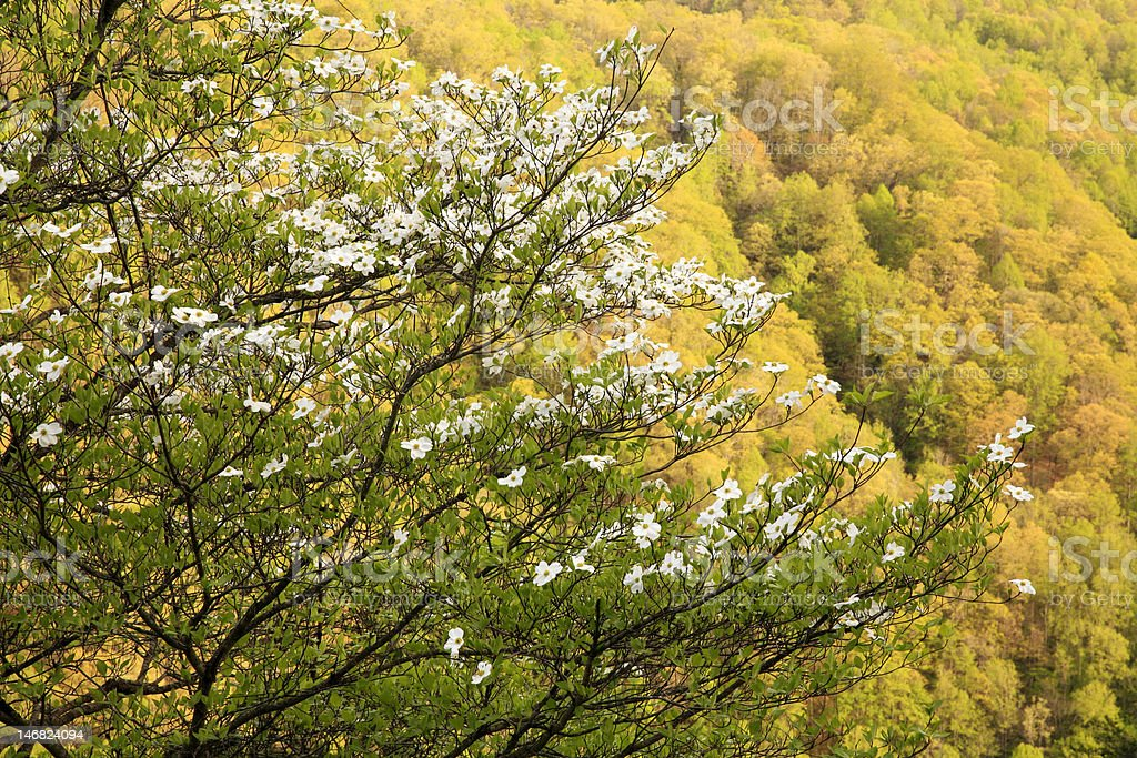 dogwood in spring royalty-free stock photo