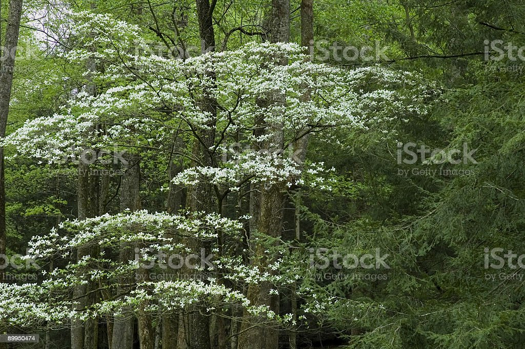 Dogwood, Spring, Cades Cove, Great Smoky Mtns NP royalty-free stock photo