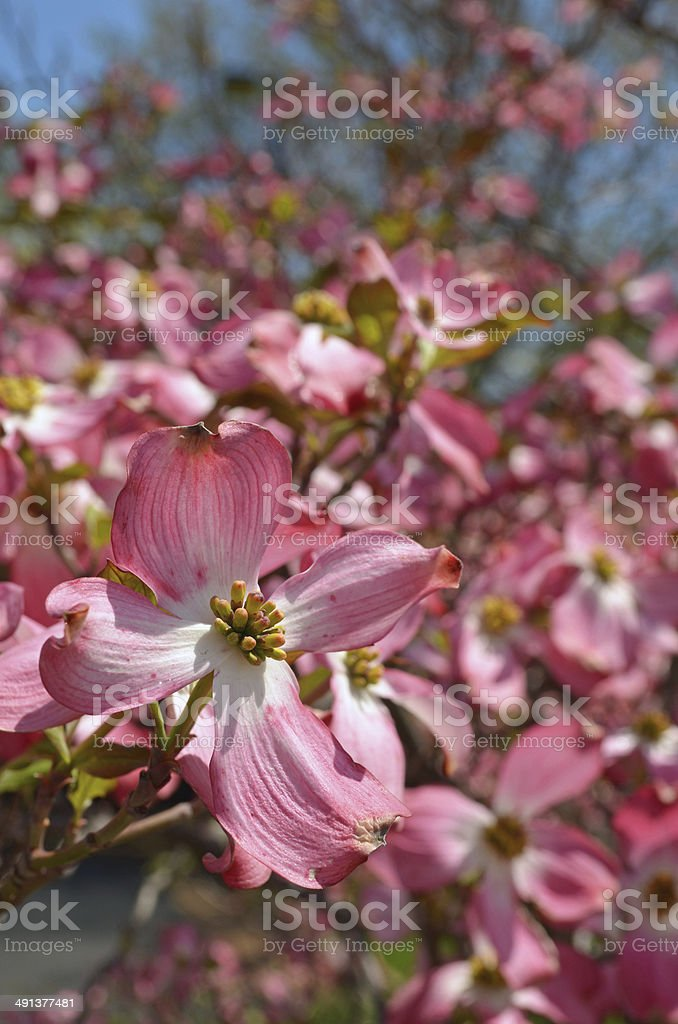 Dogwood Tree Flowers stock photo