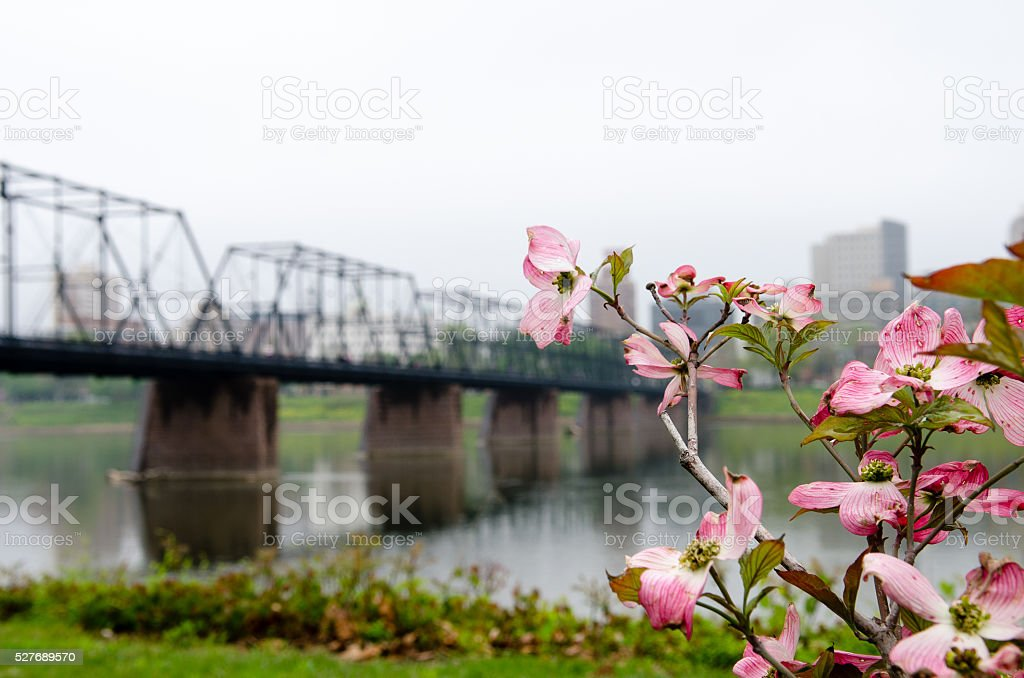 Dogwood Tree In Bloom with Walking Bridge stock photo
