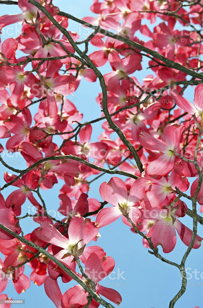 Dogwood Tree in Red stock photo