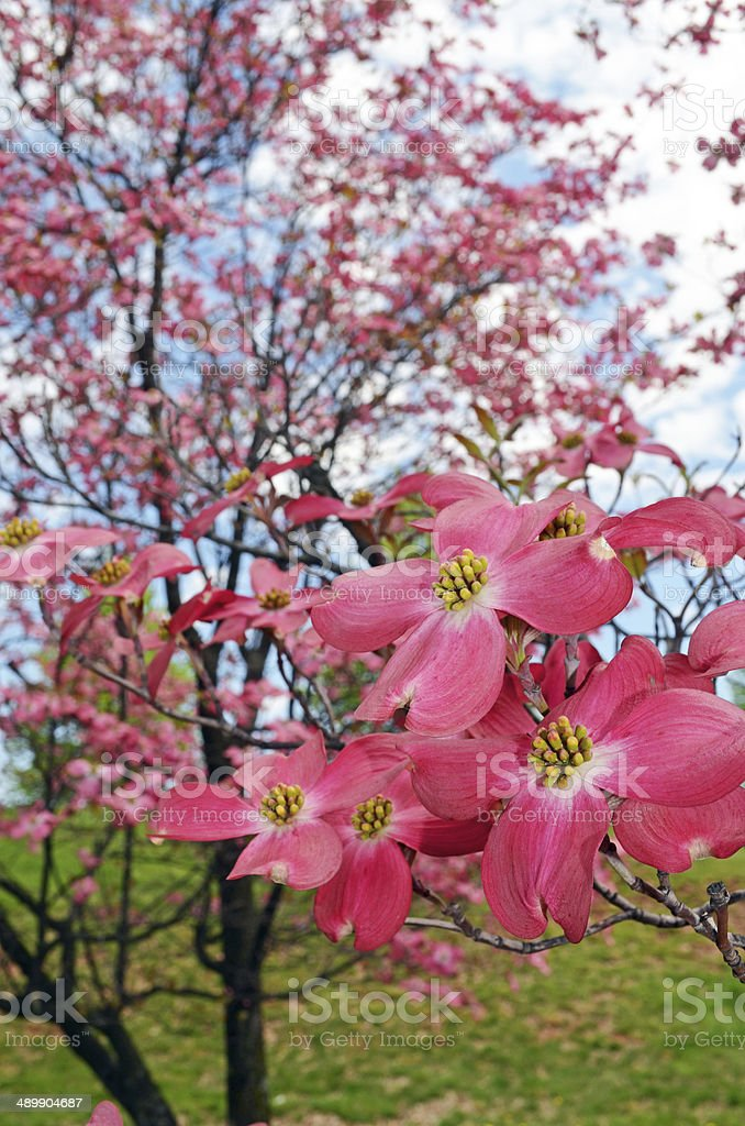 Dogwood Trees in Spring stock photo