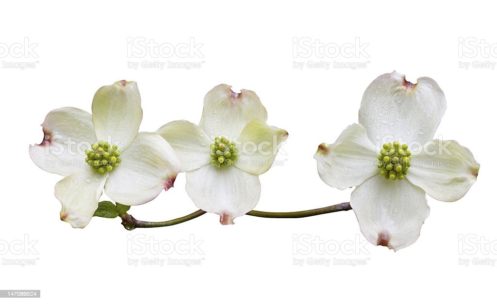 Dogwood with Clipping Path royalty-free stock photo