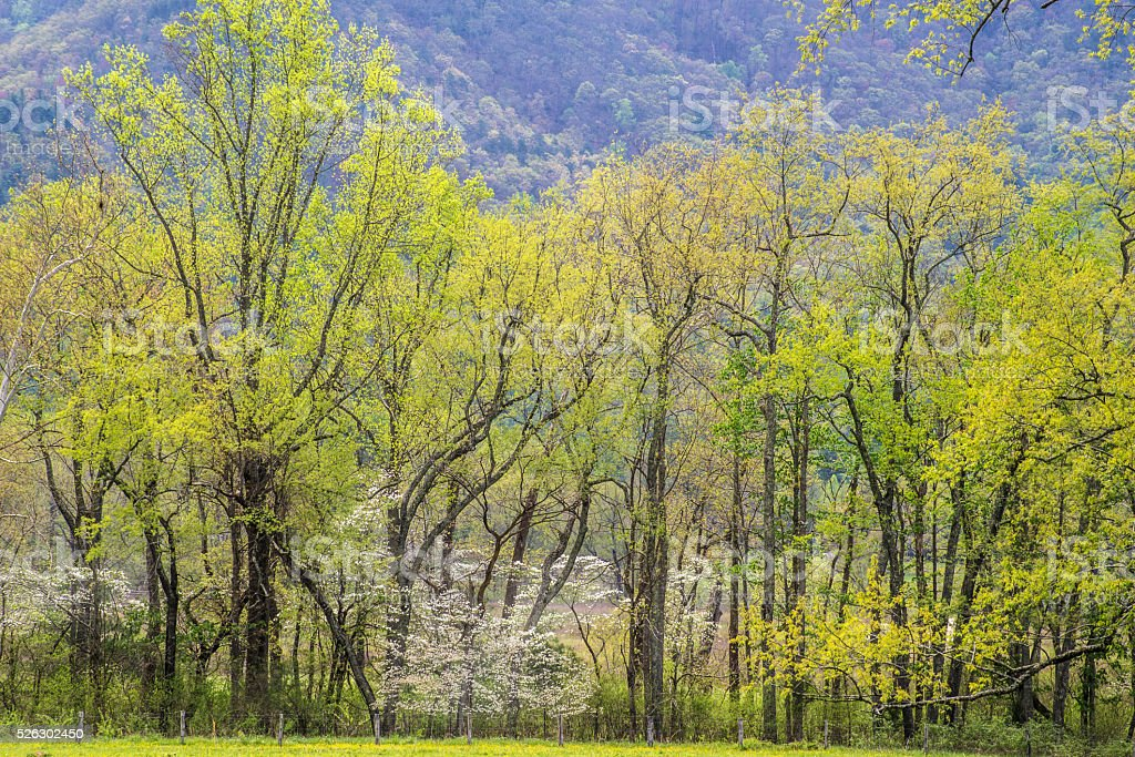 Dogwoods and green leaves in spring. stock photo