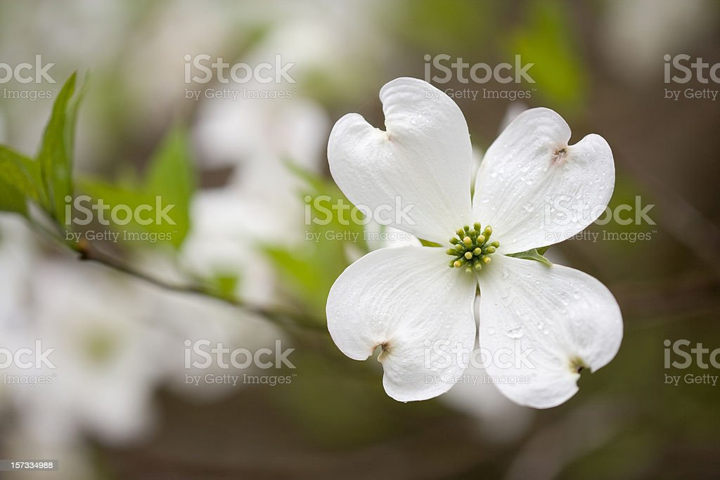Dogwoods in the Smoky Mountains (XXL) royalty-free stock photo