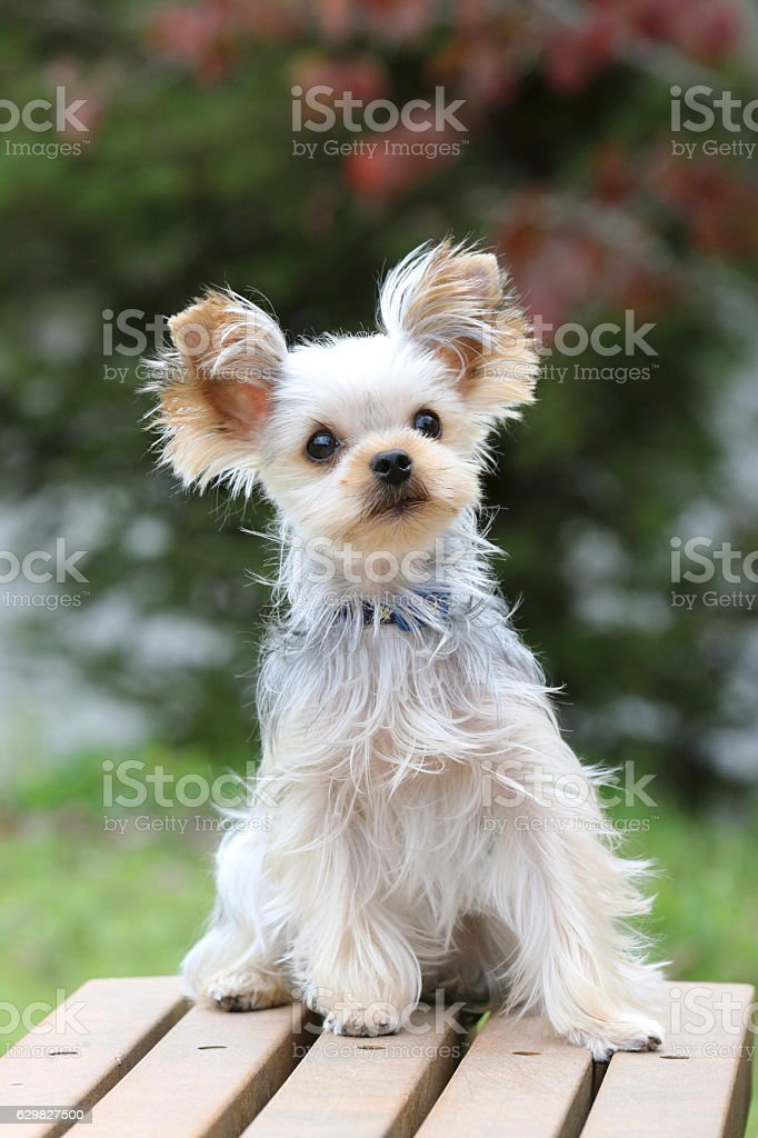 Dog、Yorkshire Terrier stock photo