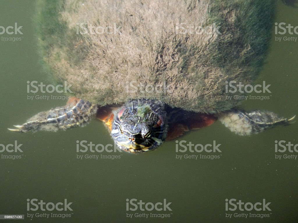 Doing the Breaststroke stock photo
