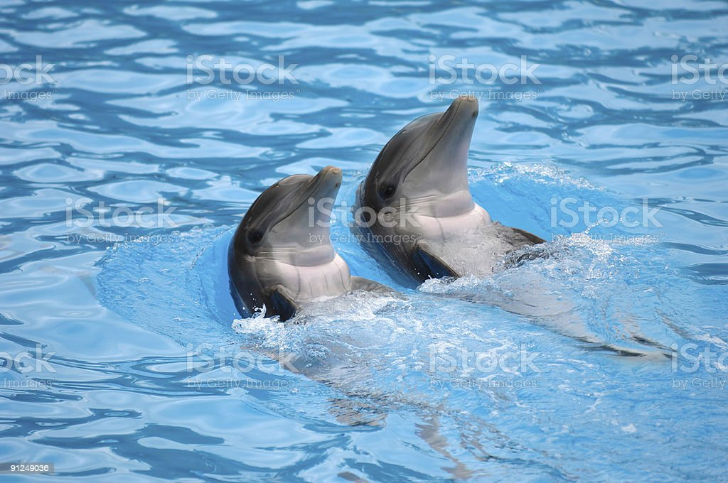 Dolephin race royalty-free stock photo