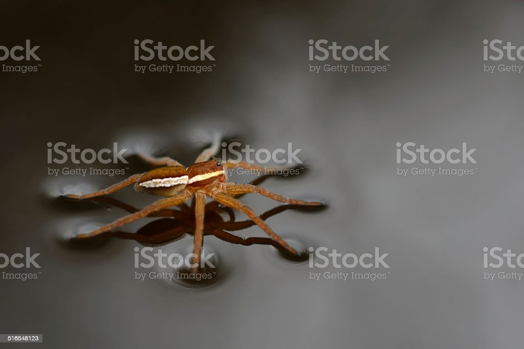 Dolomedes fimbriatus raised view stock photo