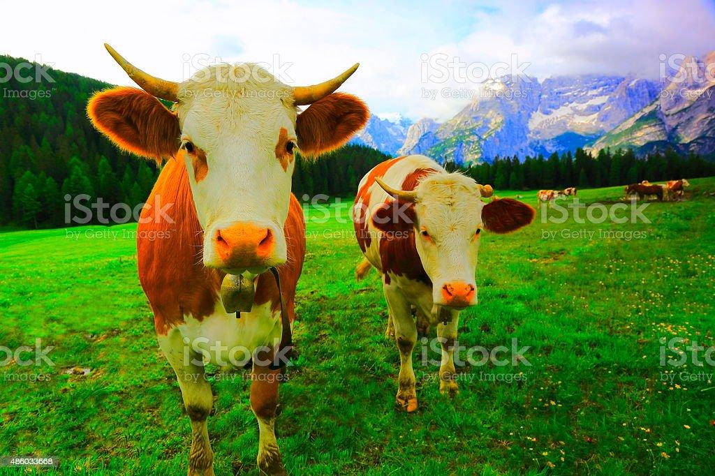 Dolomites alpine cows, Green meadow near Cortina, South Tirol stock photo