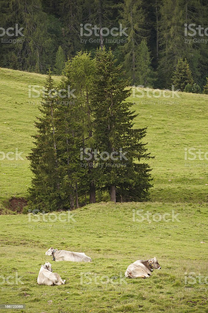 Dolomitic Cows royalty-free stock photo