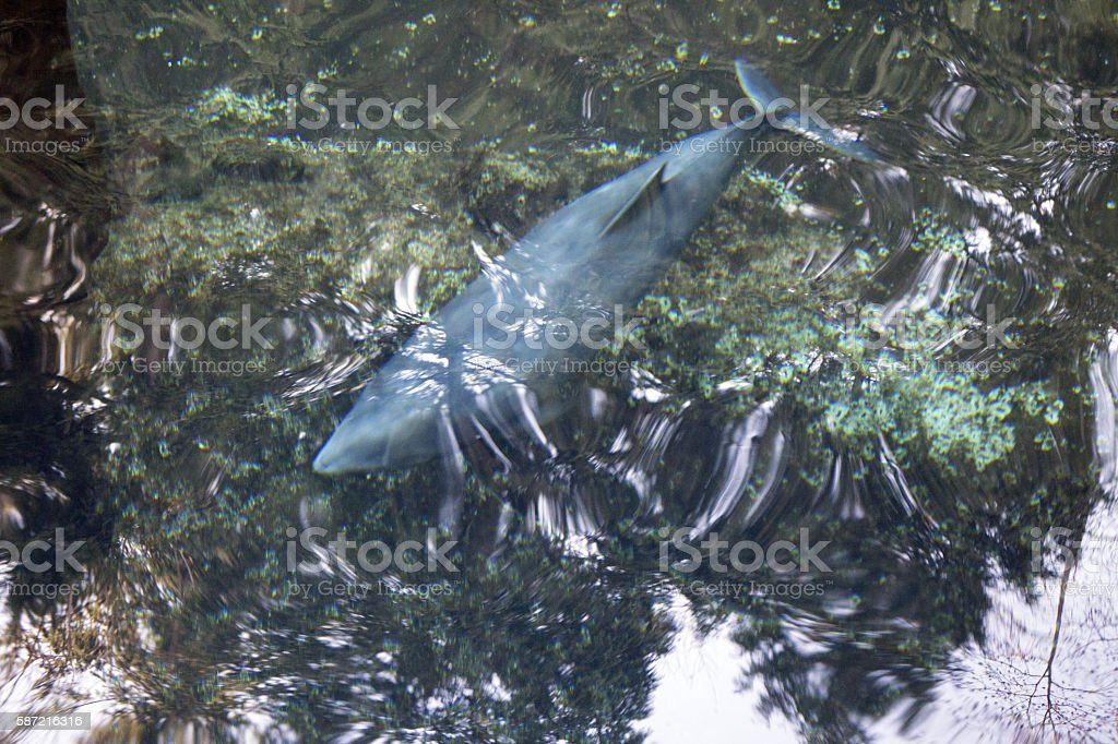 Dolphin below water surface stock photo