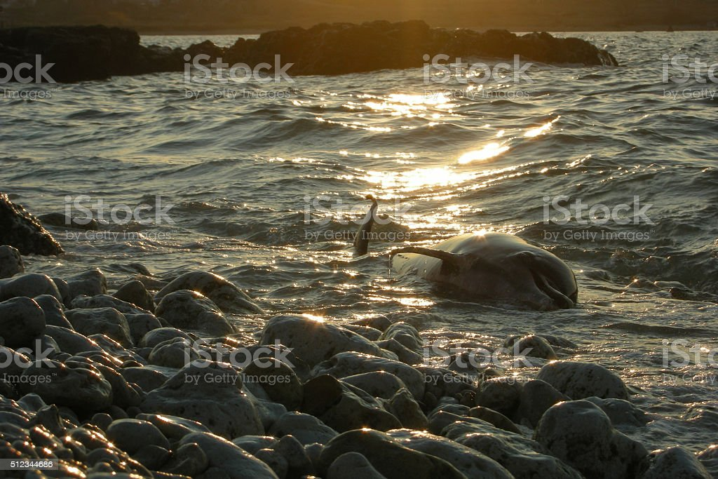 dolphin dead sea ocean nature pollution kill mortal sunset stock photo