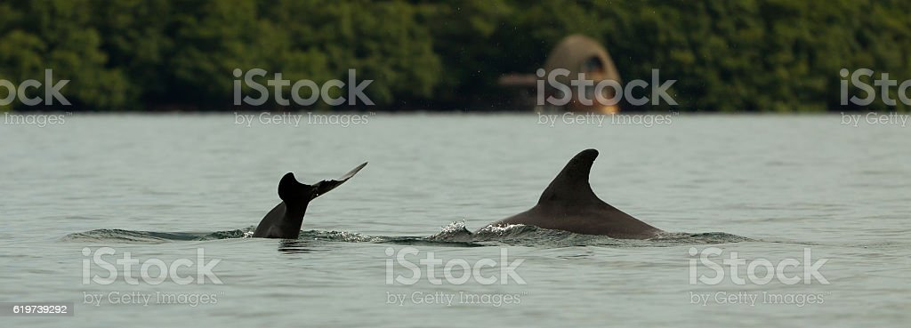 dolphin diving into the calm water, bay in the archipelago stock photo