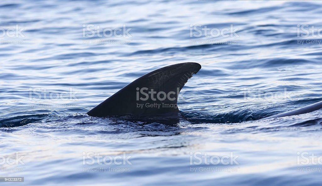 dolphin fin in sea stock photo