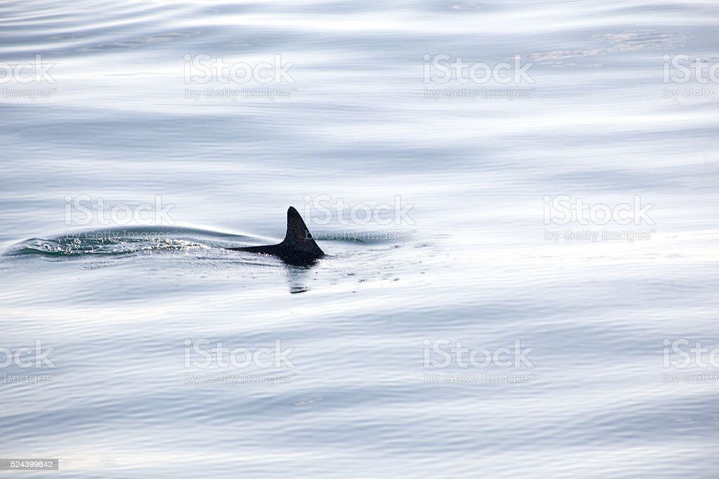 Dolphin Fin just breaks the surface of ocean. stock photo