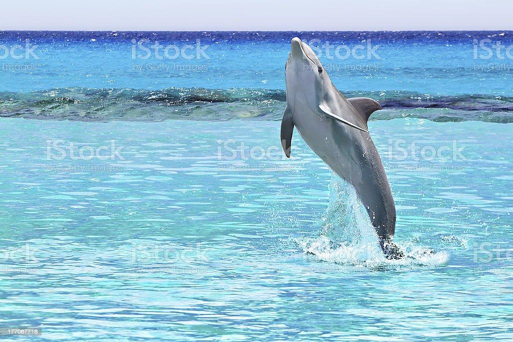 Dolphin from the Caribbean Sea stock photo