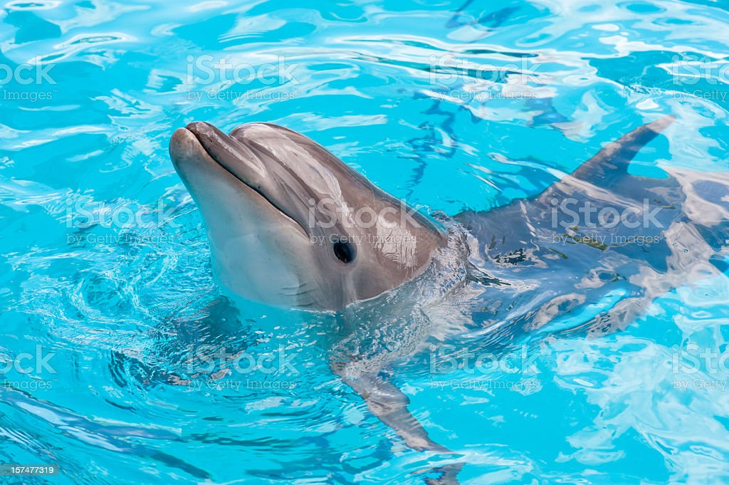 Dolphin in a blue water stock photo