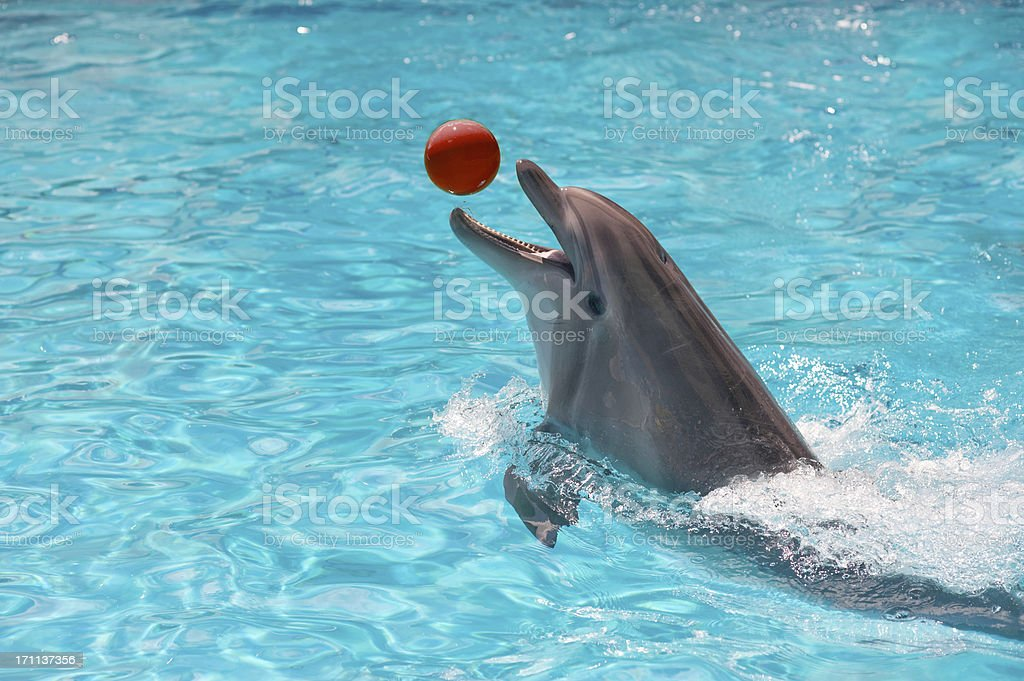 Dolphin in a blue water playing with ball stock photo