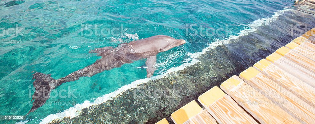 Dolphin in blue sea stock photo